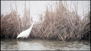 Great Egret Fishing as a Fog Rolls In.