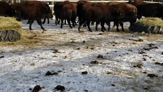 Fun on the Farm - Buying our first Bison Herd