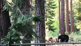 Brown and Black Bears at Play