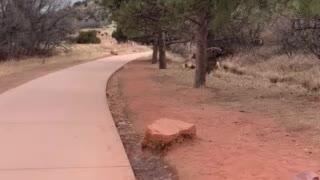 Deer in Colorado Springs