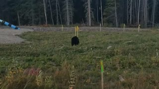 Alberta Canada black bear