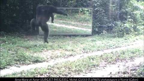 Some chimps are angry at mirrors, while others are calm | Chimpanzés tous