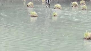 Moose Makes a Splash