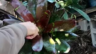 Advanced Bromeliads 9