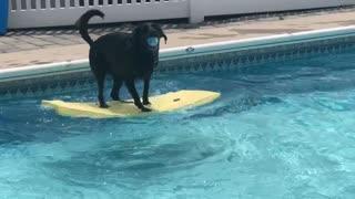 Bodyboarding dog uses balancing skills to fetch ball