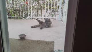 A Very Relaxed Raccoon