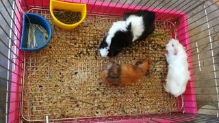 Guinea Pig play around the world