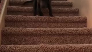 Puppy takes on the stairs