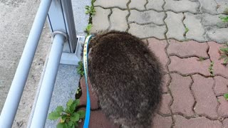 Raccoon took a walk in the morning.
