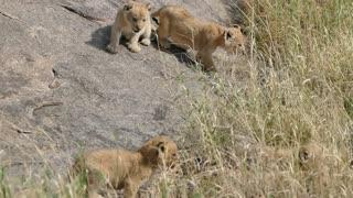 ADORABLE! LION ENJOY