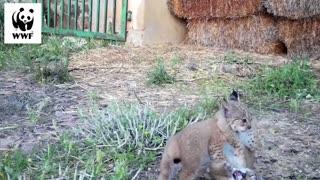 Cute Iberian Lynx Kittens Play Around In Haystacks