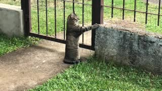 Cat Looks Longingly Outside the Fence