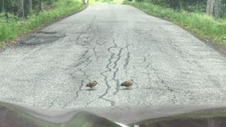 Woodcocks dancing across the road