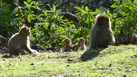 monkey Barbary family