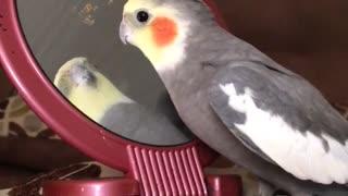 Cockatiel really hates reflection in mirror