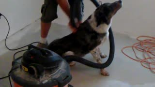Dog LOVES the vacuum