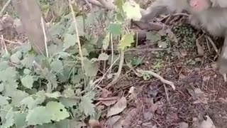 Monkey attack Angry monkey