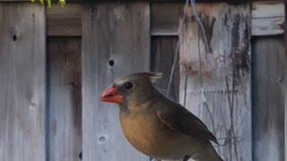 #Back Yard Birds Hawai'i Chirpy Girl