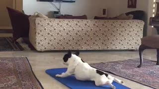 French Bulldog does yoga exercises on yoga mat