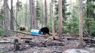 Territorial Bears Bound Around