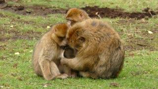 Family Of Monkeys 2021