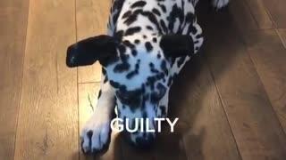 Guilty Dalmatian can't even make eye contact