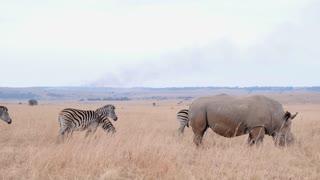 Rhino With Zebra