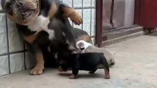 beautiful mother feeding her puppies