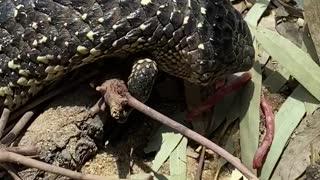 Lizard Tries to Chomp Fingers