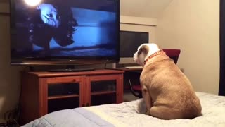 Bulldog watches a horror movie scary scene