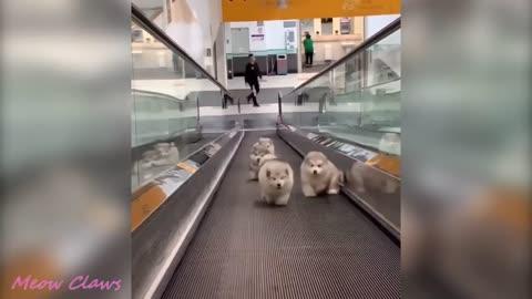 4 Cute Alaskan Malamutes Running Up Travellator