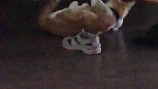 Simba attacks a Stuffed Animal