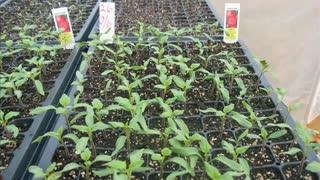 Backyard Greenhouses - New Seedlings