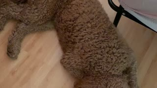 Changing sheets - with three labradoodles