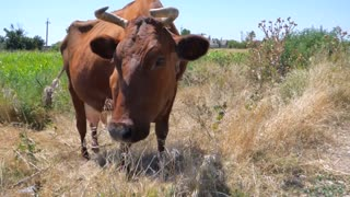 Male Cow Tied In Field Eating Hay Grass