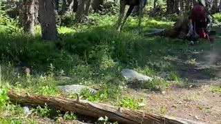 Bull Moose Trot through Campsite