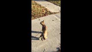 Savannah Cat on Walk