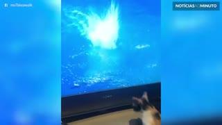 Gatinho tenta pegar mergulhadora na televisão