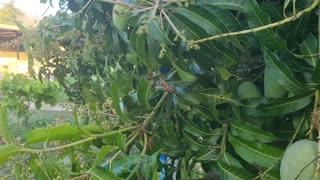 Growing big mango in Thailand plenty of water