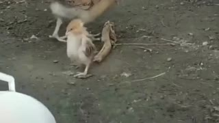 What happen to the Chick?..