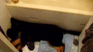 German Shepard Dog Snoring Sleepz