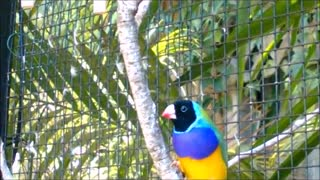 Gouldian Finch cock bird with stronger colours