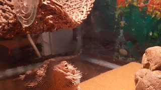 Bearded dragon feeding time