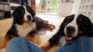 Owner tries to eat cookie in front of Bernese Mountain Dogs