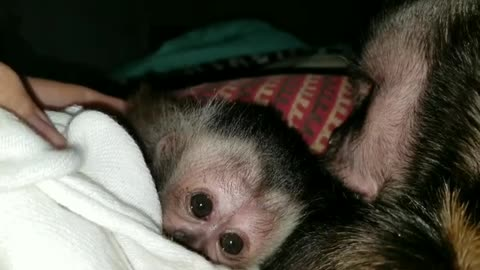 Capuchin monkey grooming and holding hands with baby