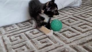 5 week old kitten