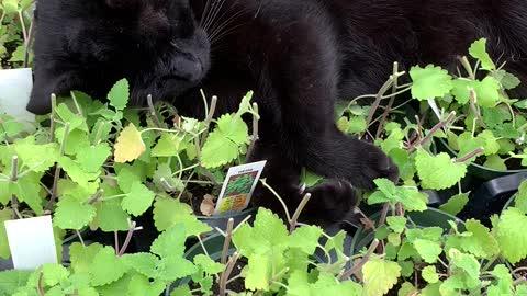 Black cat caught basking in the greenhouse catnip