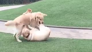 Three brown dogs on grass play fight