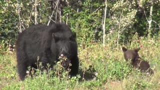 Black Bear - Wild Bear - Forest