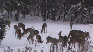 MASSES of Deer at Play.